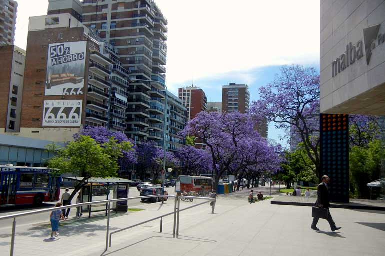 Jacarandas in Buenos Aires